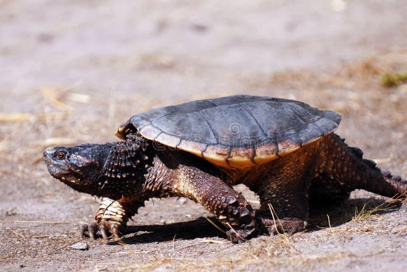 漫步的乌龟 免版税库存照片