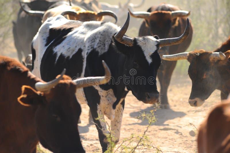 漫游在亚利桑那土地的牛 库存图片