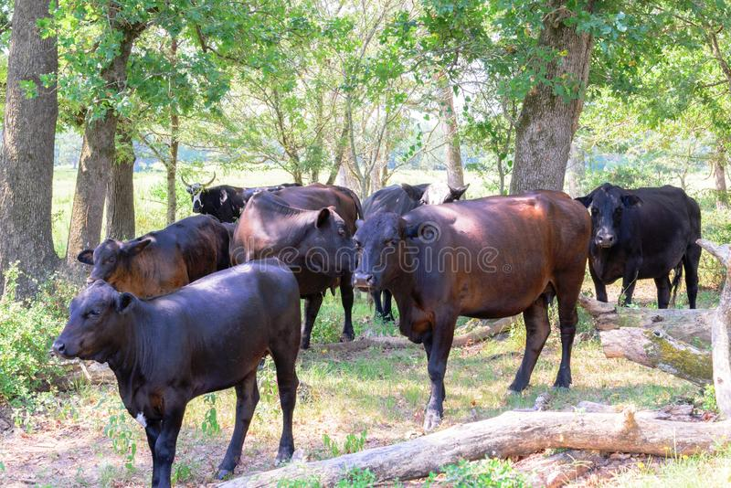 漫游在有草和树的一个大农场的黑和棕色母牛 图库摄影