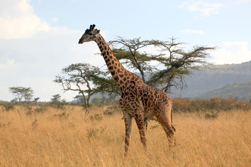漫游的长颈鹿 免版税库存图片