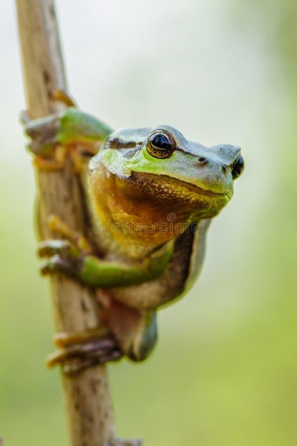 潜伏为在自然环境的牺牲者的欧洲绿色雨蛙前雨蛙arborea蛙属arborea 免版税库存照片