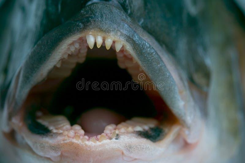 潜伏的牙 库存照片