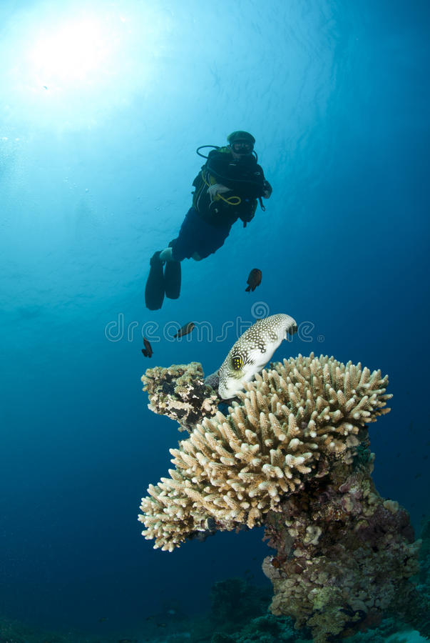 潜水员男性观察的pufferfish水肺 免版税库存照片