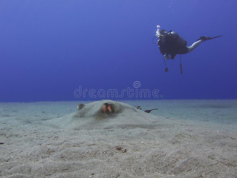 潜水员黄貂鱼 免版税图库摄影