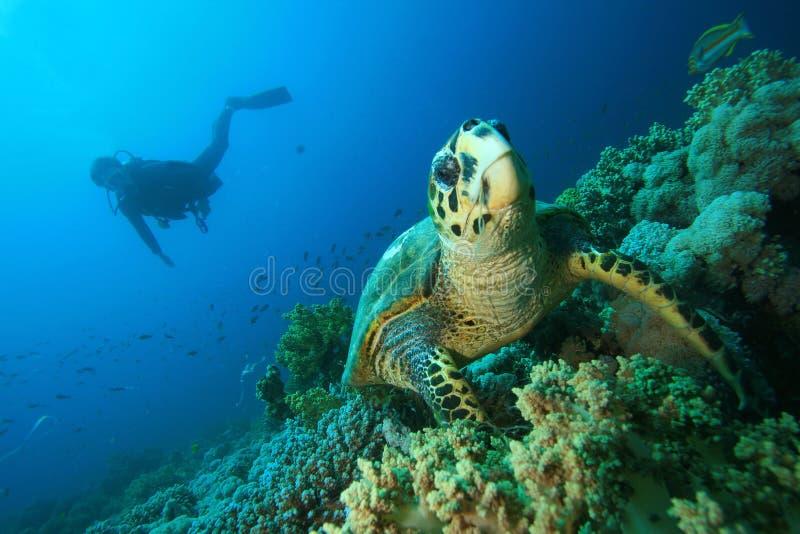 潜水员hawksbill水肺乌龟 免版税库存图片
