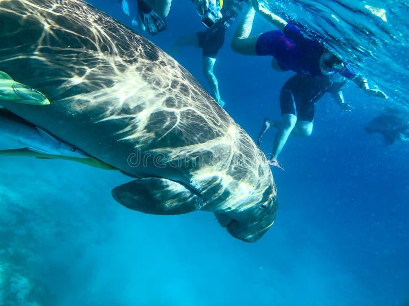 潜航在Marsa阿拉姆,埃及 Dugong dugon 免版税库存照片