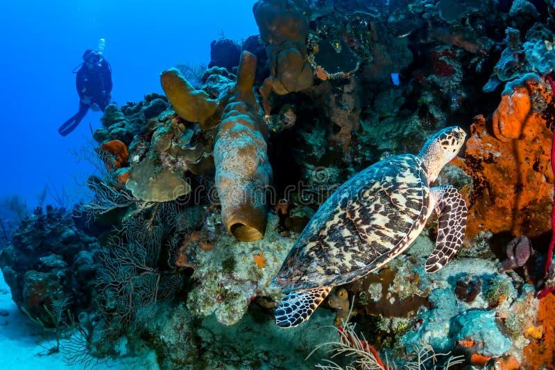 轻潜水员和乌龟 免版税库存图片