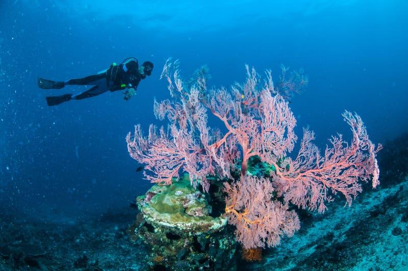 潜水者游泳,海底扇Anella Mollis在Gili,龙目岛,努沙登加拉群岛Barat,印度尼西亚水下的照片 库存照片