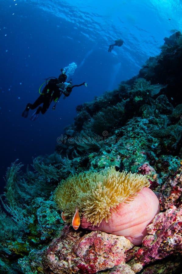 潜水者,银莲花属, clownfish,软的珊瑚在Banda,印度尼西亚水下的照片 免版税库存照片