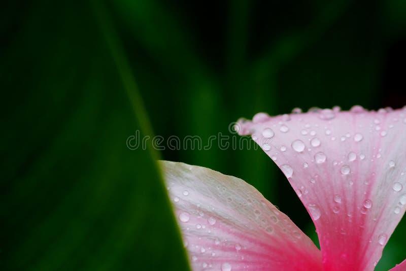 潮湿与在桃红色木槿罗莎sinensis的水下落在热带绿色庭院背景 免版税库存照片