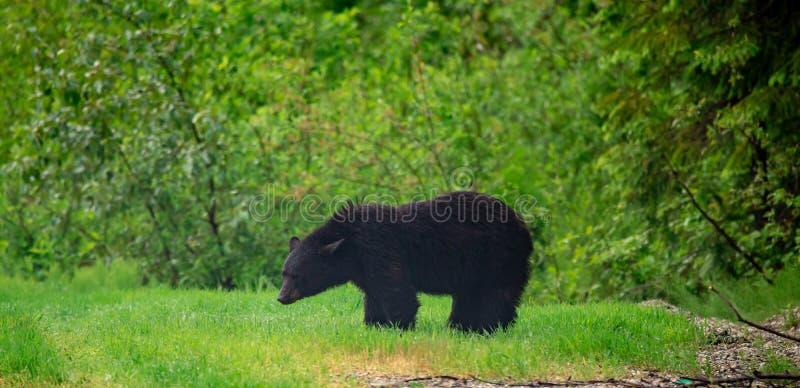 潮湿的黑熊在吃草的高速公路一边 免版税库存图片