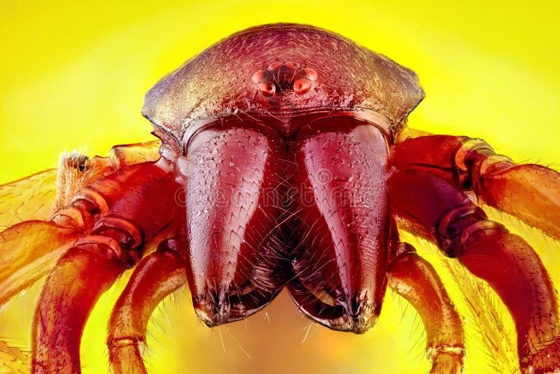 潮虫猎人男性蜘蛛的特写镜头 免版税库存照片