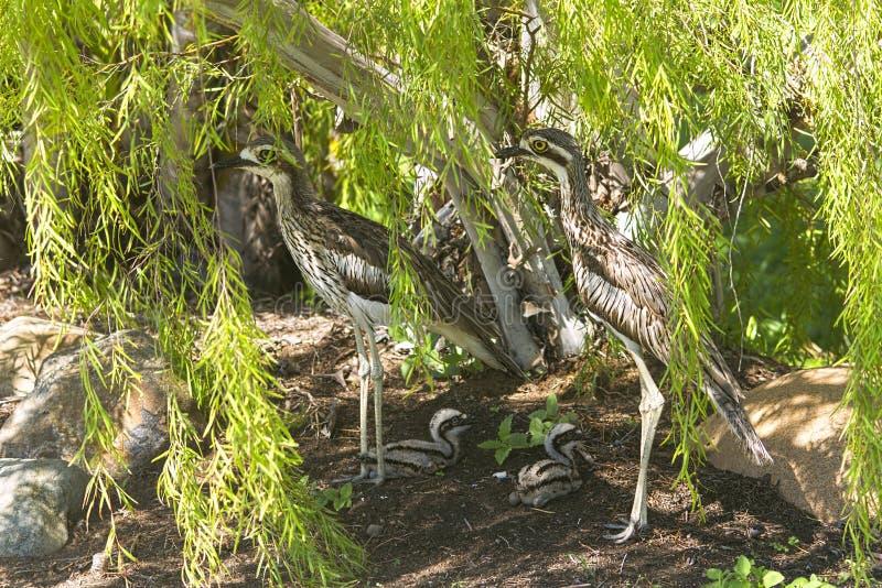 澳大利亚与年轻小鸡的灌木石麻鹬 库存照片