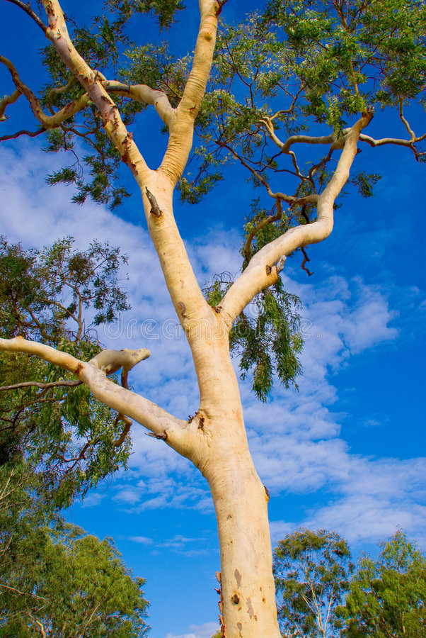 澳大利亚产树胶之树 免版税图库摄影