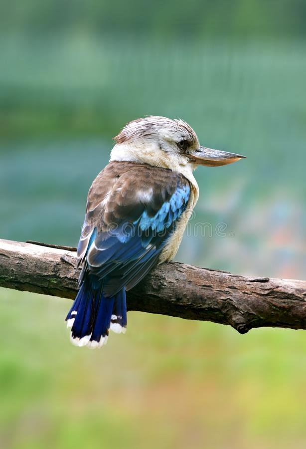 澳大利亚人Kookaburra - Dacelo novaeguineae 最大的翠鸟鸟 图库摄影