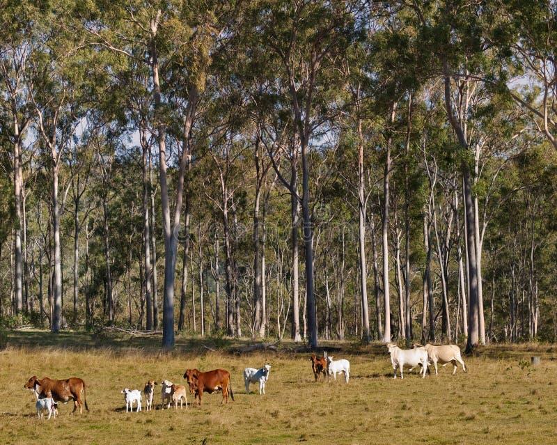澳大利亚农村场面产树胶之树和母牛 库存照片