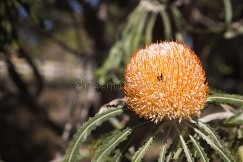 澳大利亚原住民野花 免版税图库摄影