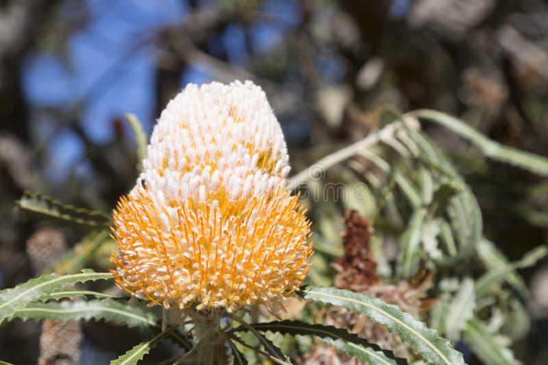 澳大利亚原住民野花 库存图片