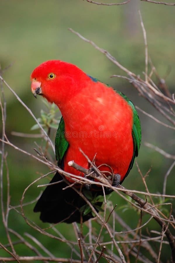 澳大利亚国王鹦鹉 免版税库存图片