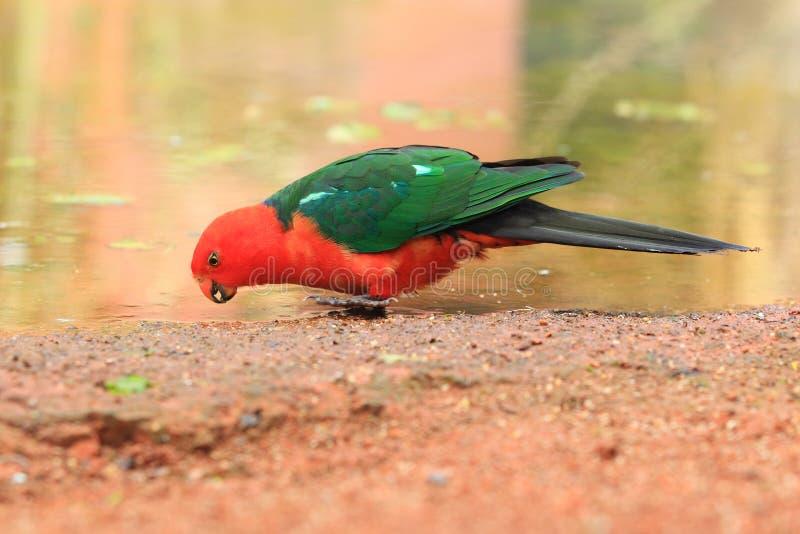 澳大利亚国王鹦鹉 免版税库存照片