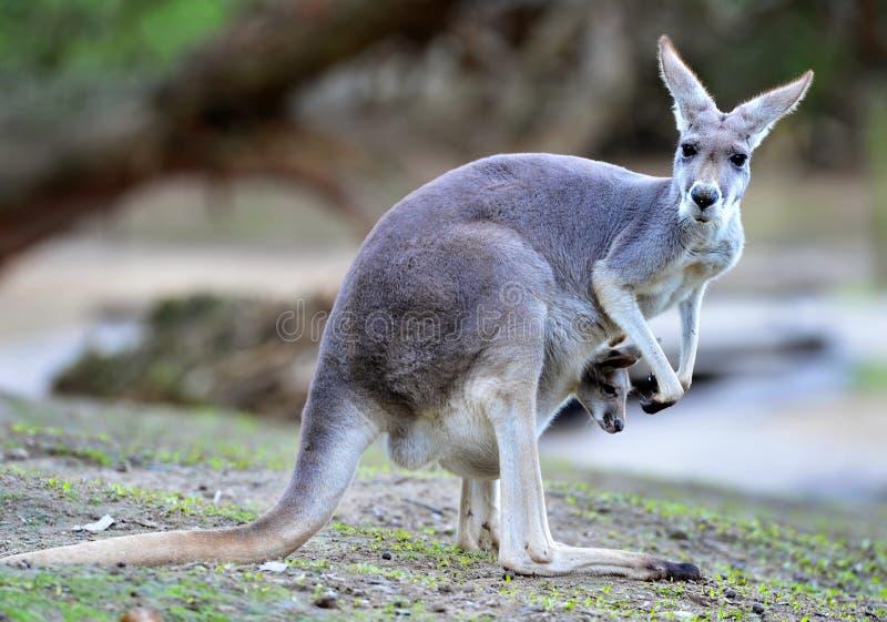 澳大利亚婴孩灰色joey袋鼠囊 库存照片
