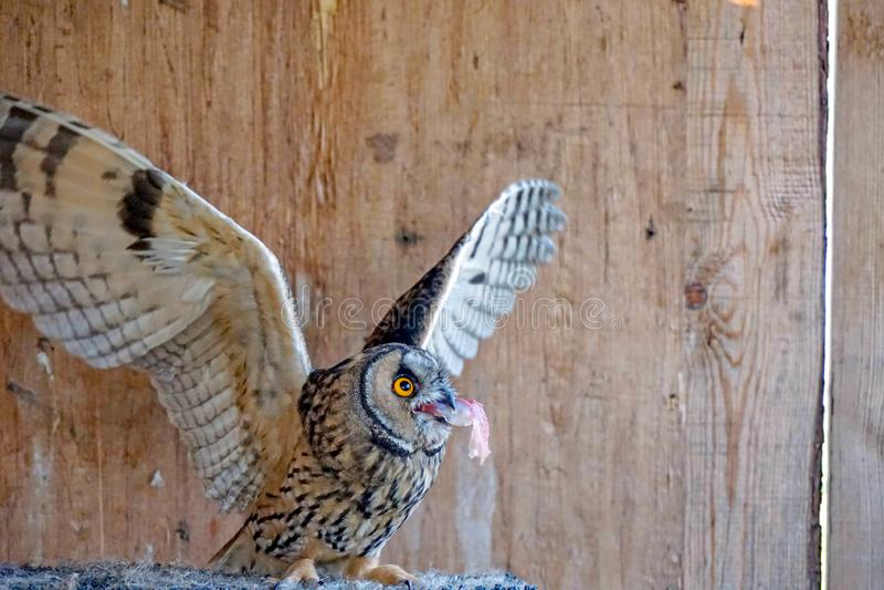 澳大利亚安全情报组织在木背景的otus猫头鹰 免版税库存图片