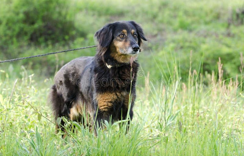 澳大利亚安装员混合狗,宠物抢救收养摄影 库存图片