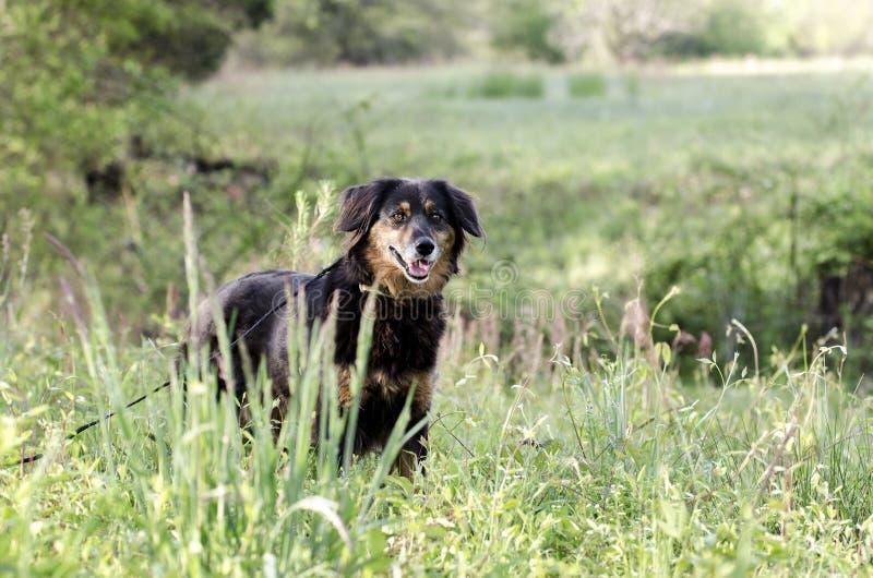 澳大利亚安装员混合狗,宠物抢救收养摄影 免版税库存图片