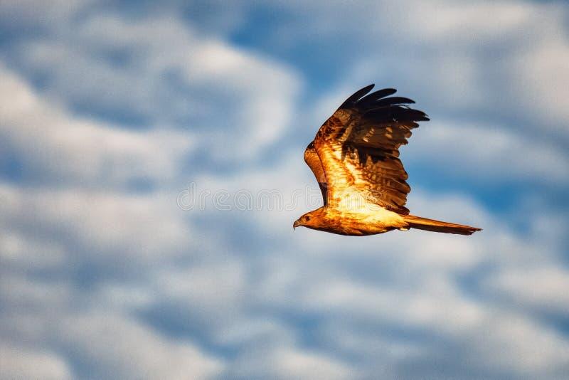 澳大利亚宽尾巴老鹰 免版税库存照片