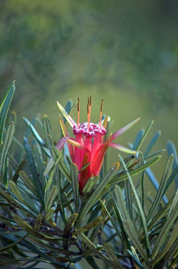 澳大利亚当地山恶魔的红色花 库存照片