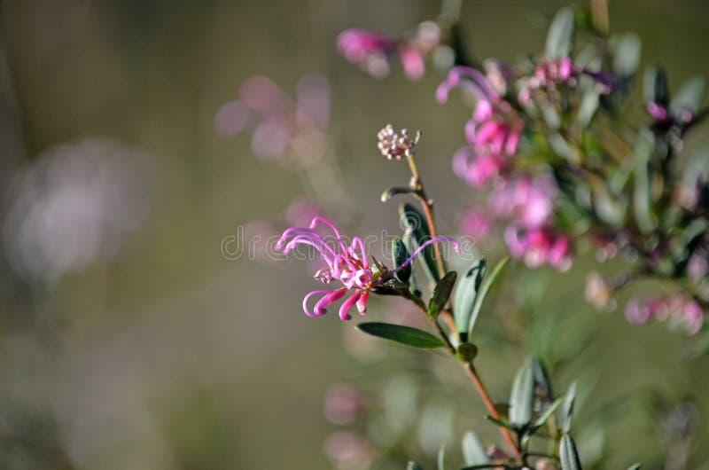 澳大利亚当地桃红色醉蝶花属Grevillea sericea 图库摄影