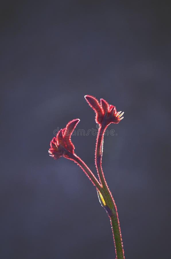 澳大利亚当地红色袋鼠爪子花后面被点燃的剪影  库存图片