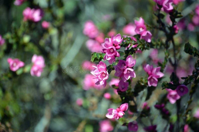 澳大利亚当地罗斯, Boronia serrulata的桃红色花 免版税库存照片