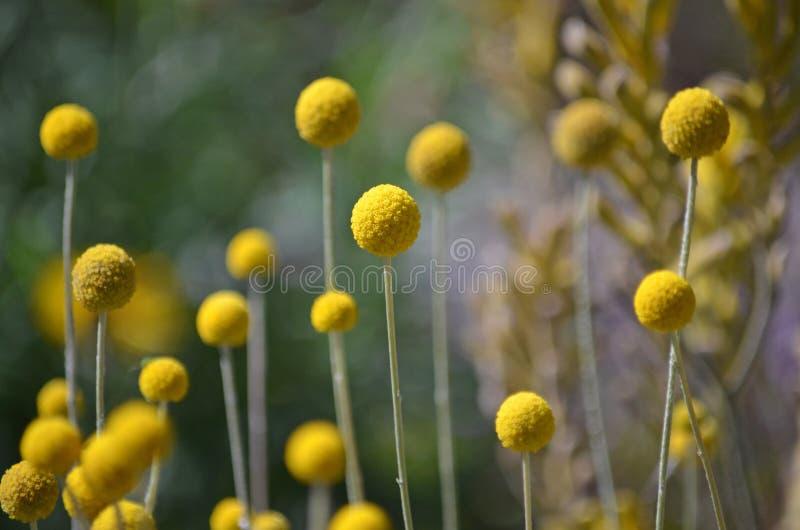澳大利亚当地黄色比利按钮花 免版税库存照片