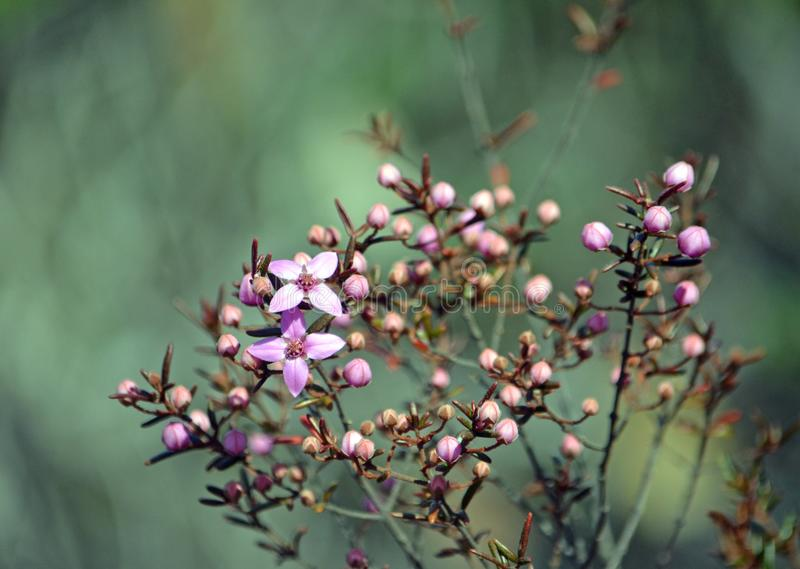 澳大利亚当地Boronia ledifolia花 免版税库存照片