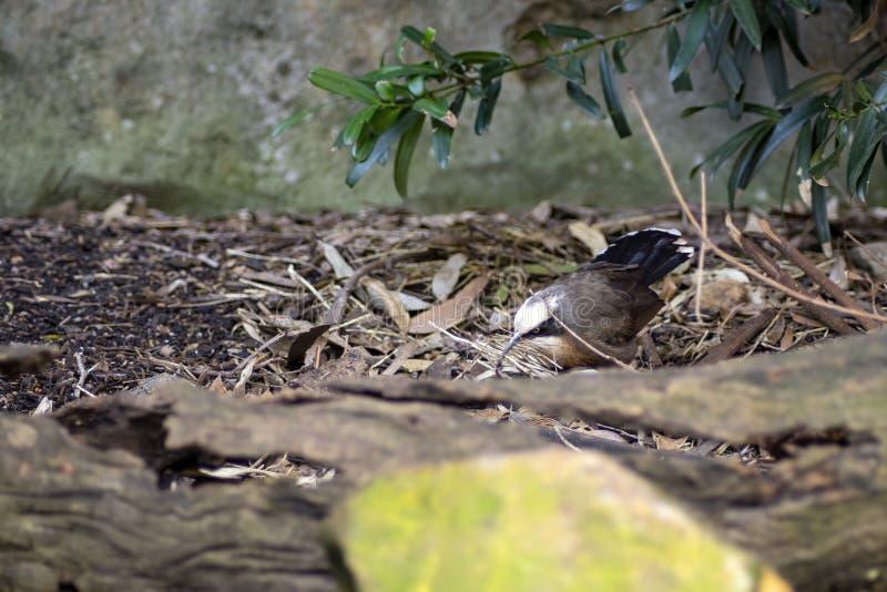 澳大利亚悉尼,灰冠鹛 库存照片