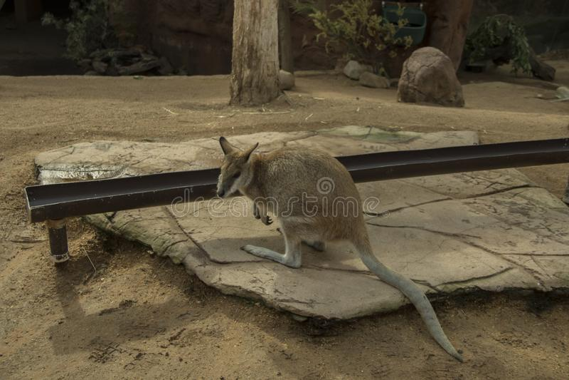 澳大利亚有袋动物 免版税库存图片