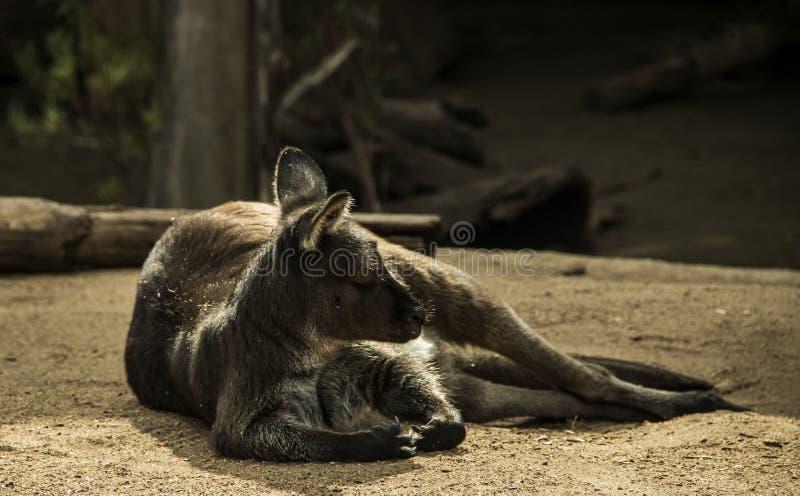 澳大利亚有袋动物 库存图片