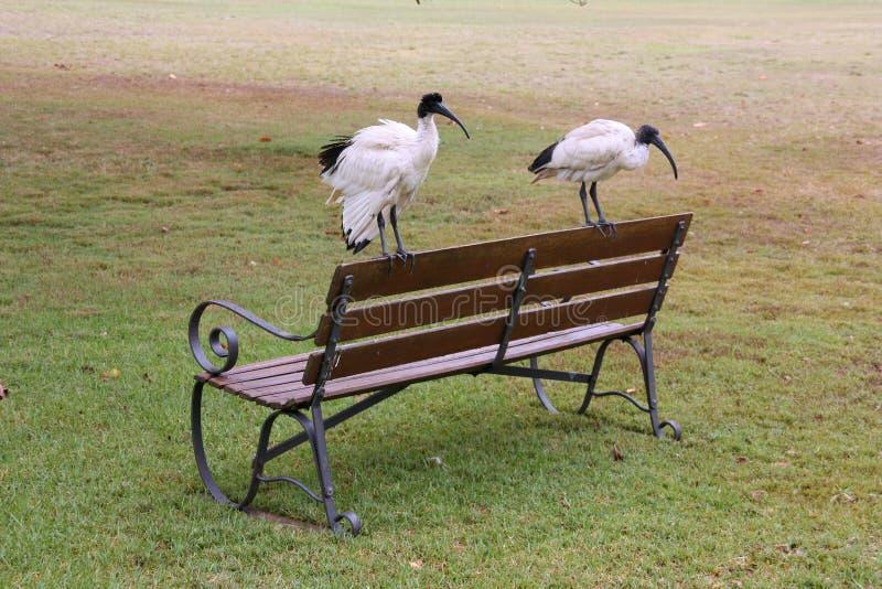 澳大利亚朱鹭鸟 库存照片