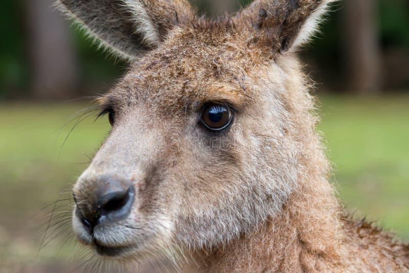 澳大利亚林务员袋鼠 免版税库存照片
