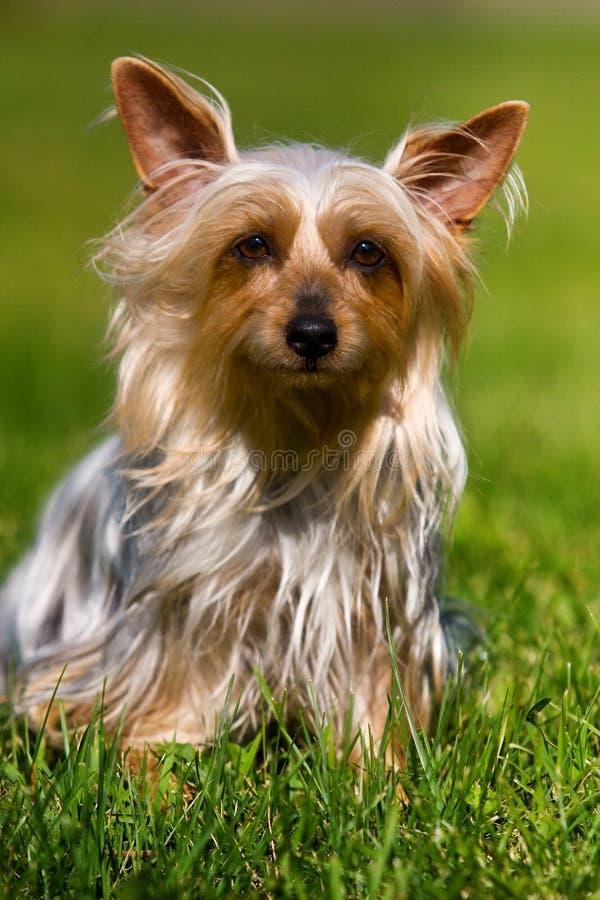澳大利亚柔滑的狗 免版税库存图片