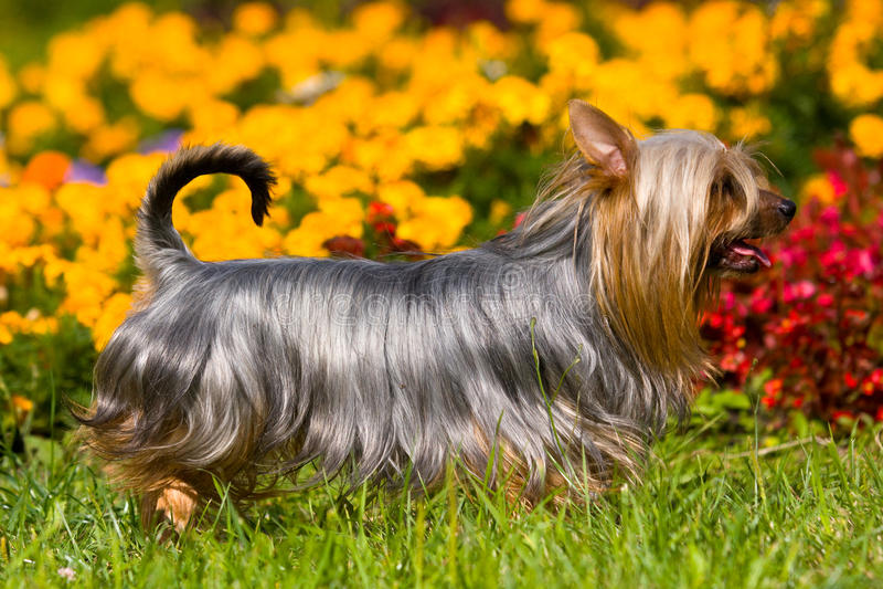 澳大利亚柔滑的狗 免版税库存照片