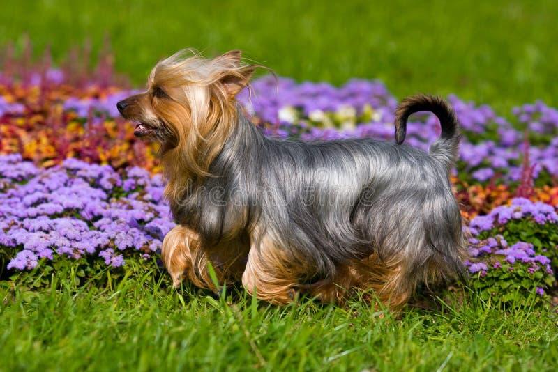 澳大利亚柔滑的狗 库存照片