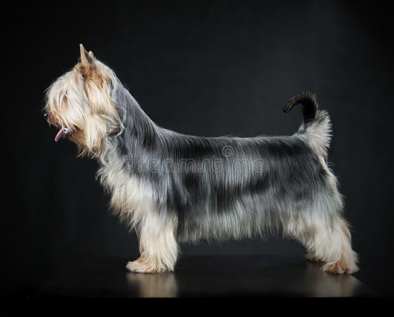 澳大利亚柔滑的狗 免版税图库摄影