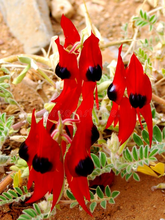 澳大利亚沙漠豌豆 库存图片