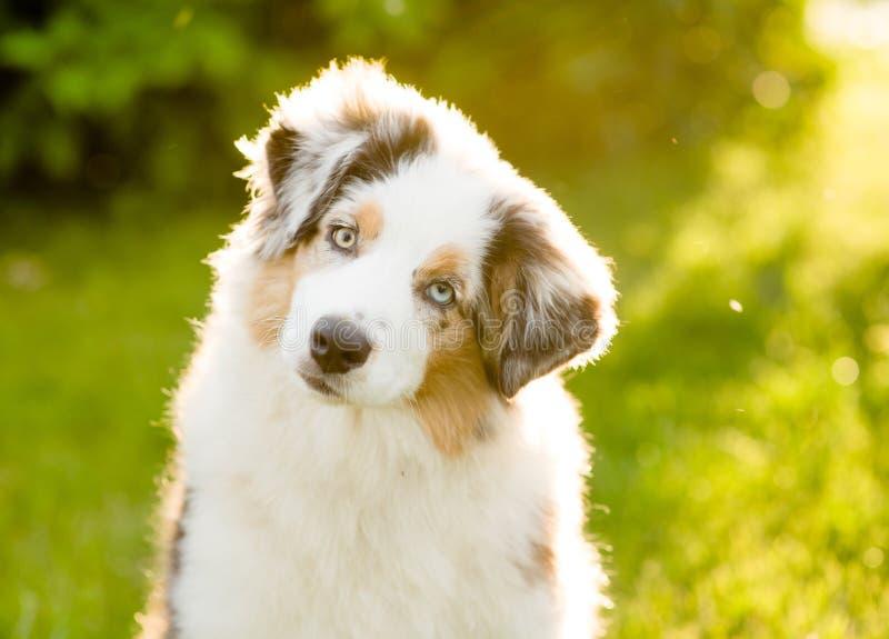 澳大利亚牧羊人小狗掀动头 免版税库存照片