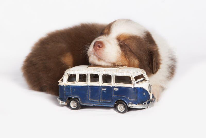 澳大利亚牧羊人小狗睡觉 库存图片