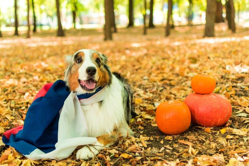 澳大利亚牧羊人的一条幼小嬉戏的狗在一个公园在秋天森林执行命令 穿戴在俄国人 库存照片