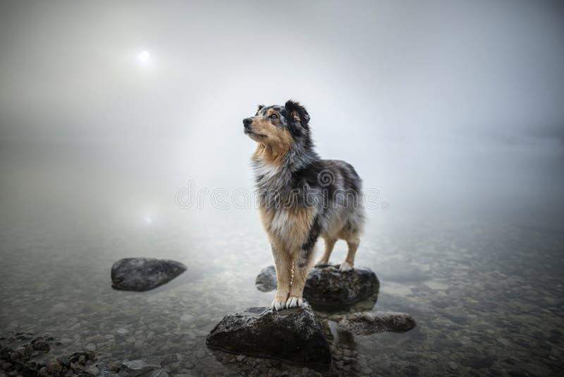 澳大利亚牧羊人站立在一个岩石在湖 在令人惊讶的风景的美丽的狗 免版税图库摄影