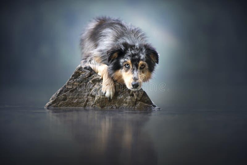 澳大利亚牧羊人说谎在一个美好的风景的一个岩石在山之间 在湖的狗充满有雾的心情 库存照片